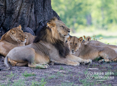 The Lion Prides of Hwange
