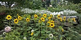 2011_025.jpg_sunflower_new.jpg