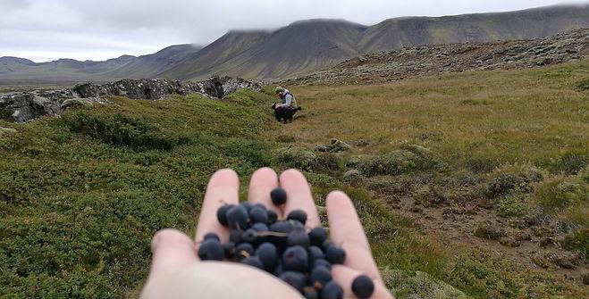 Blueberries - Kubbur - Einari (05.04_edi