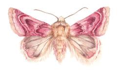 Peaseblossom Moth