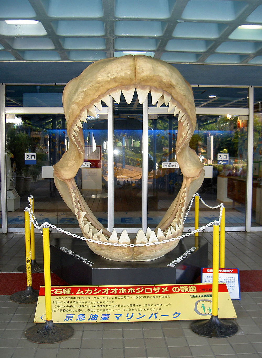 FILE PHOTO: Megalodon fossils are mostly found in Japan in Asia.  Image: Public Domain