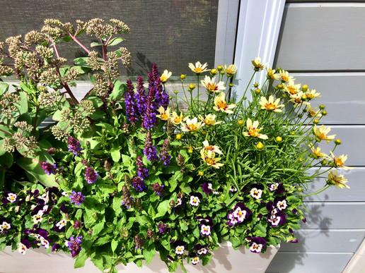 Sedum, Salvia, Tickseed, and Violets