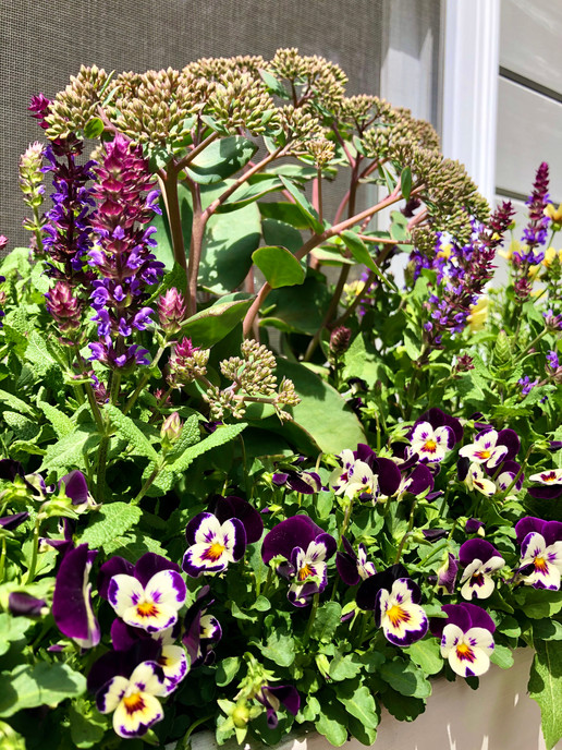Sedum, Salvia, and Violets