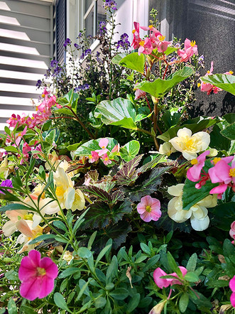 Angelonias, Begonias, & Million Bells