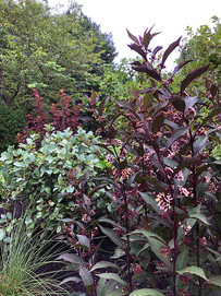'Pearl Glam' Beautyberry & 'Blue Shadow' Fothergilla