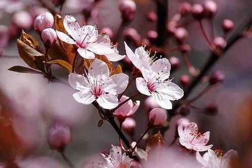 Гранат и вишневый цветок