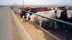 Vaca-en-feedlot.jpg