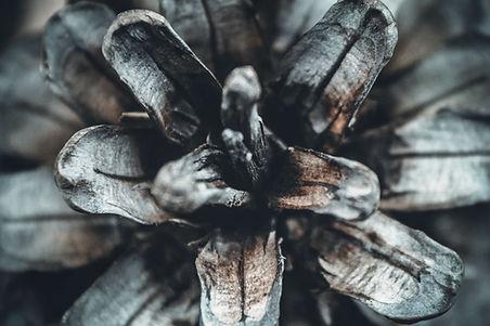 piña de pino