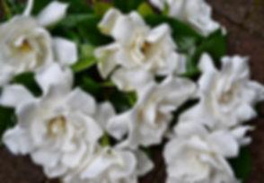 white-gardenia.jpg