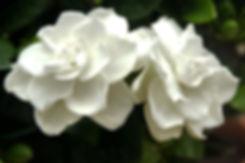 203069-2121x1414-gardenias.jpg