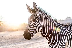 zebra-3758310_1920.jpg