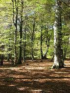 Hayedo, Pirineos,Gipuzkoa. País Vasco, Euskadi, Bilbao,Cursos en la naturaleza