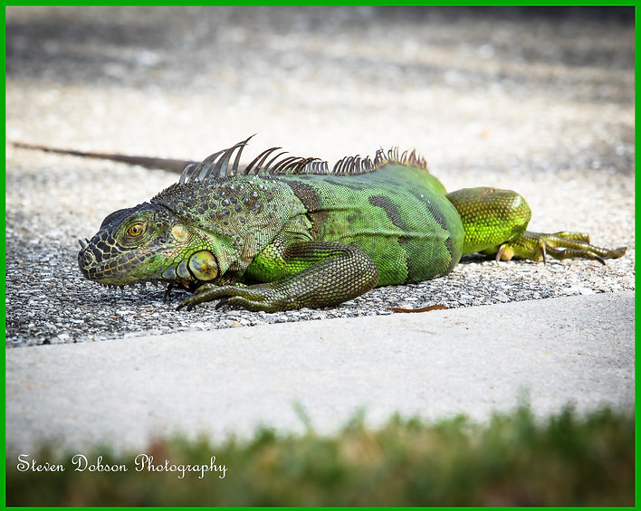 Iguana 01.jpg