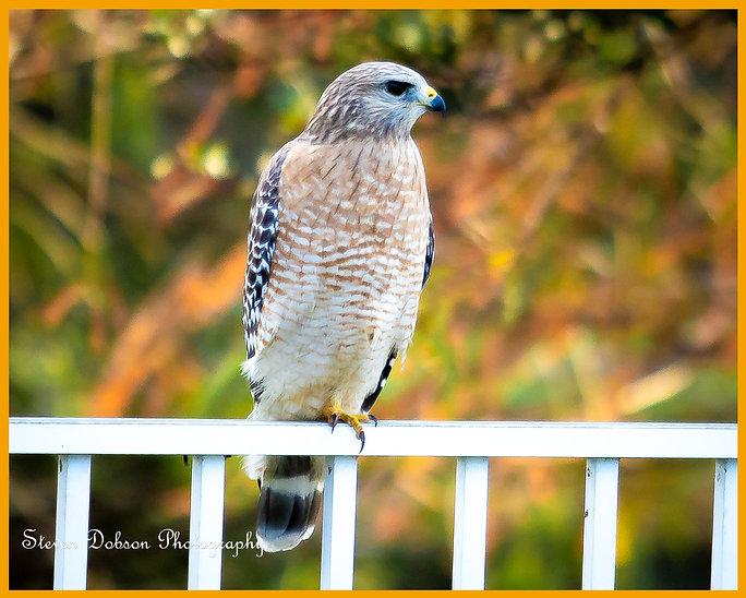 Hawk 01.jpg