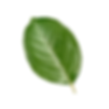 Green Leaf Isolated.png