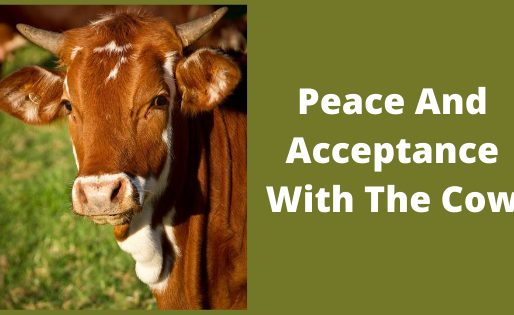 Peace And Acceptance With The Cow