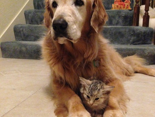 Comet helping care for a kitten