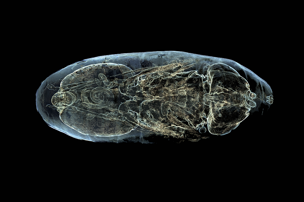 A translucent shell of a fly larva, with visible internal structures and organs, contrast strongly against the deep black background.
