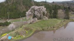 与一野のしだれ桜②(広島県安芸太田町)