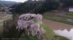 与一野のしだれ桜①(広島県安芸太田町)