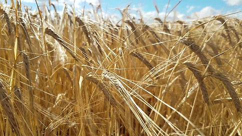 Barley in field.jpg
