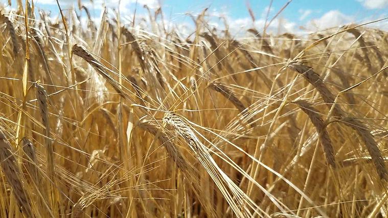 Barley in field.jpg