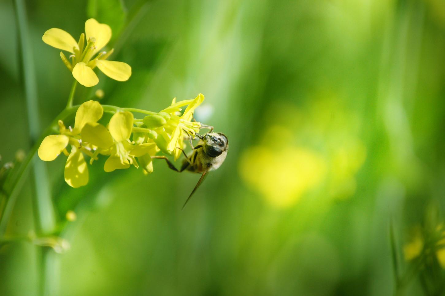 Pszczoła na kwiat