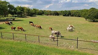 longhorns grazing.jpg