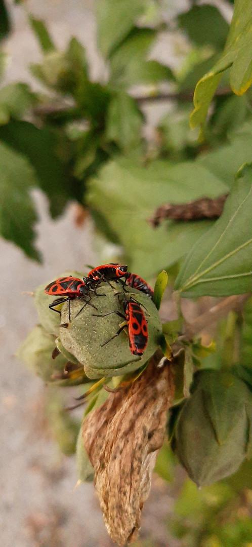 Insectes : gendarme, utile au jardin