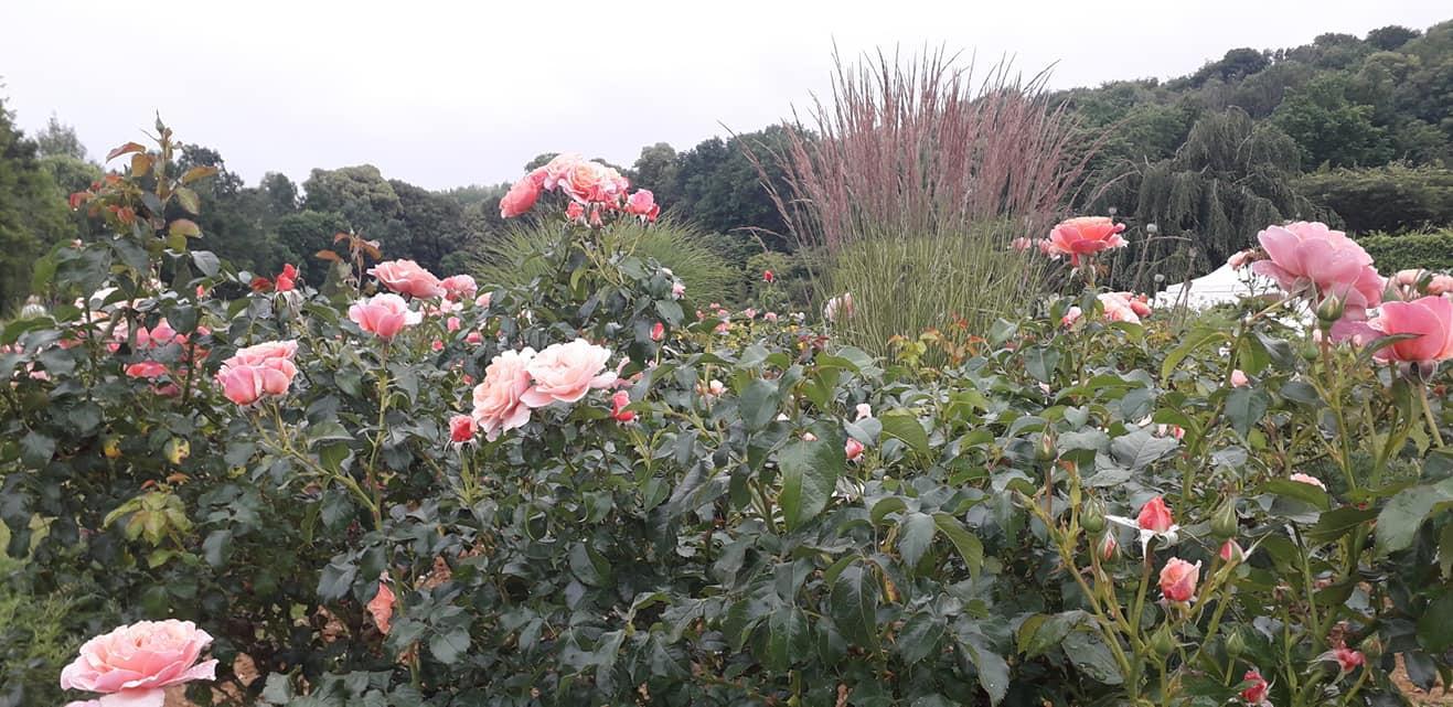 Massifs de rosiers