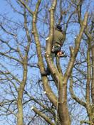 Elagage avec rétention des branches