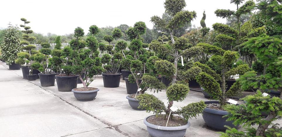 Taxus en autres arbustes taillés