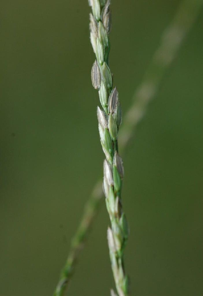 Crabgrass Seeds