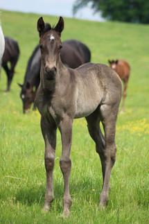 2021 Blue Roan Filly SOLD!