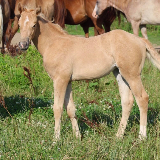 2020 Palomino Filly SOLD