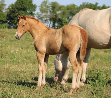 2021 Palomino Filly SOLD!