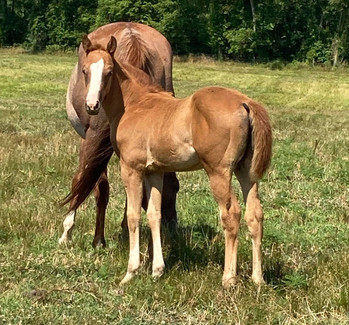 2021 Red Roan/Rabicano Filly SOLD!