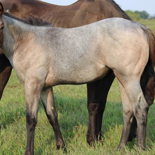 2020 Bay Roan Filly SOLD!