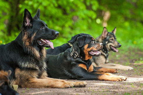 Group of dogs on obedience training.jpg