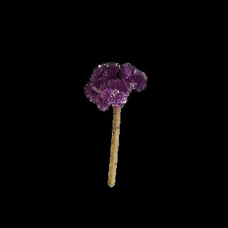 Purple Sedum