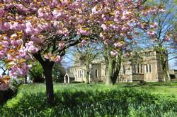 cherry blossom st lawrences