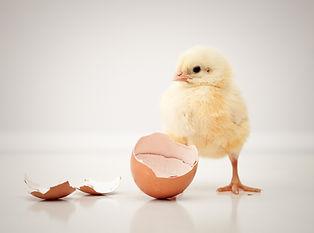 adorable baby chicken.jpg