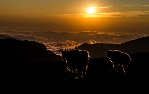 SunriseGoats.jpg