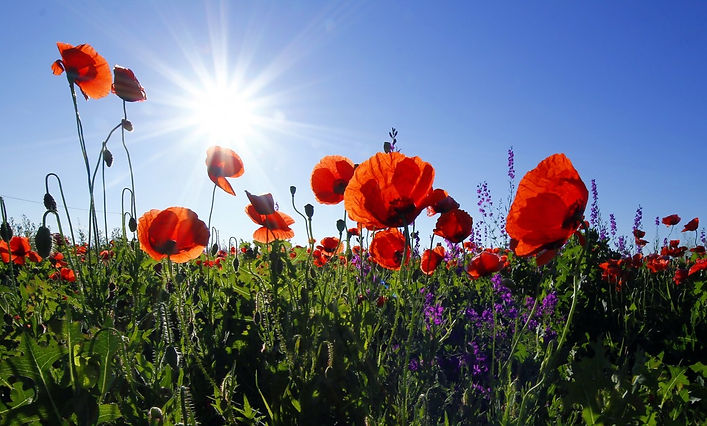 poppies_flowers_sunshine_lens_flare_summ