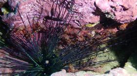 Shrimp with Urchin