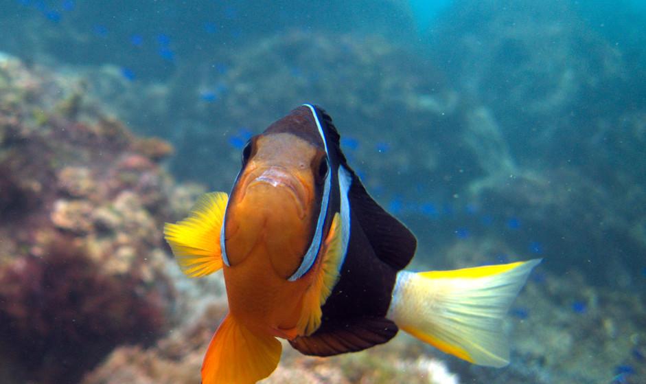 Anemone Fish Close LDB.jpg