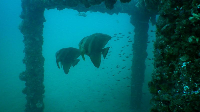 Batfish at Iron House