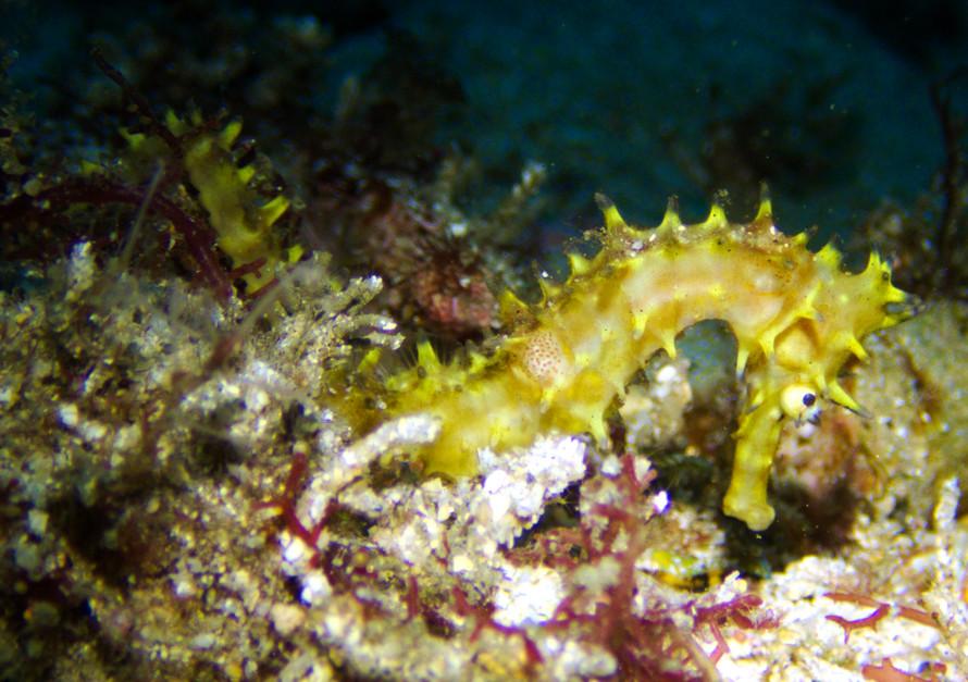 seahorse yellow close.jpg