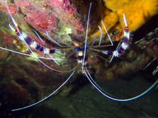 Banded Shrimp