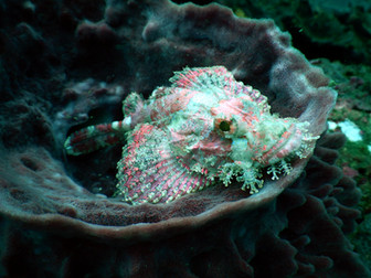 Scorpionfish in Barrel Sponge